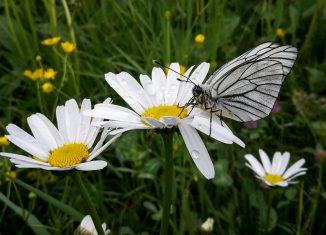 Wanderungen für Schmetterlingsfreunde in Tirol