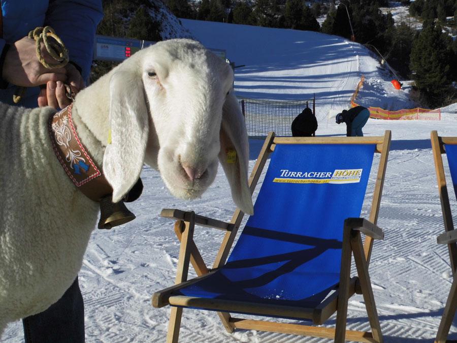 Turracher Höhe feiert Jubiläum Schafrennen