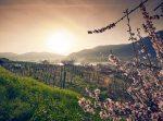 Marillenblüte in der Wachau: Die schönsten Rad- und Wanderwege