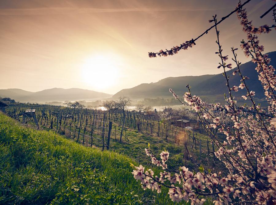 Marillenblüte in der Wachau Wanderwege Radwege