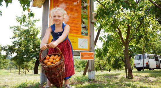 Wachauer Marille Genuss ab Hof oder in der Gastronomie